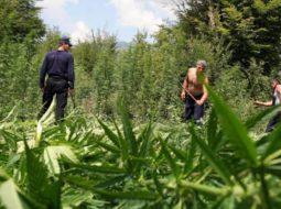 Cannabis-field-in-Albania.jpg