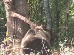 Video/ Kapet me lak një tjetër ari në qytetin e Librazhdit