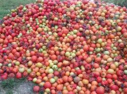 Tonelata me domate në Divjakë përfundojnë në kanal