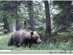 Jeta e egër në pyjet shqiptare, shihni çfarë kanë zbuluar kamerat 'kurth' në Gjirokastër (VIDEO)