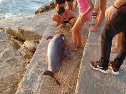 Ksamil, dallgët nxjerrin një delfin të ngordhur (FOTO)