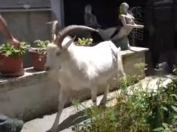 Në Fier ndodh çudia, cjapi bën qumësht (VIDEO)